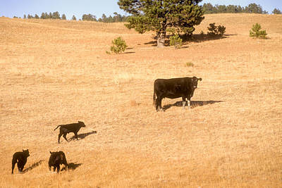 Photograph - Cattle On Pasture With Calves by John Brink