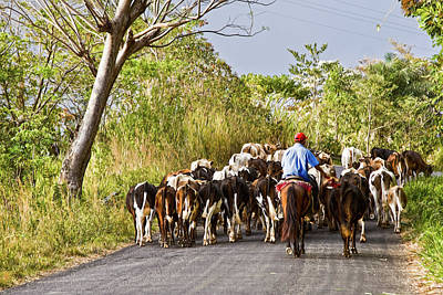 Photograph - Cattle On The Road In The Rural Panama by Tatiana Travelways