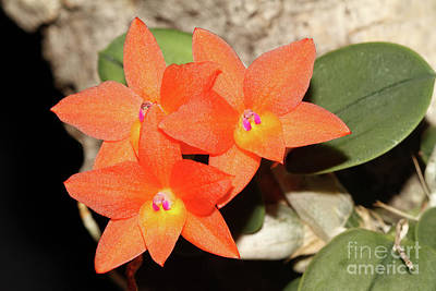Photograph - Cattleya Cernua Orchid by Judy Whitton