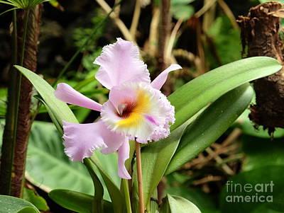 Cattleya Orchid Original
