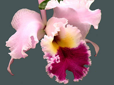 Cattleya Orchid Art Print by Rosalie Scanlon