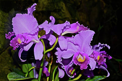 Photograph - Cattleya Orchids At The Conservatory by Janis Nussbaum Senungetuk