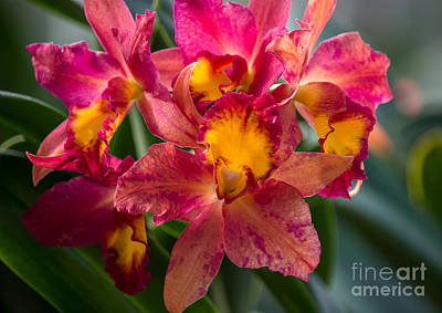 Cattleya Orchids Print by Fiona Craig