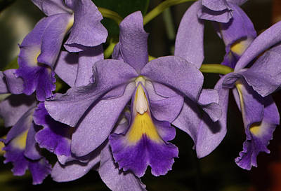Photograph - Cattleya Portia - Sir Jeremiah Coleman 001 by George Bostian