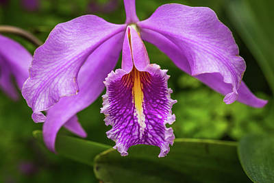 Cattleya Purpurata Art Print by Calazone's Flics