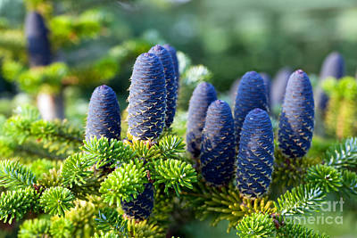Photograph - Caucasian Fir Tree Cones Close-up by Michal Bednarek