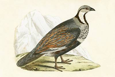 Partridge Painting - Caucasian Snow Partridge by English School