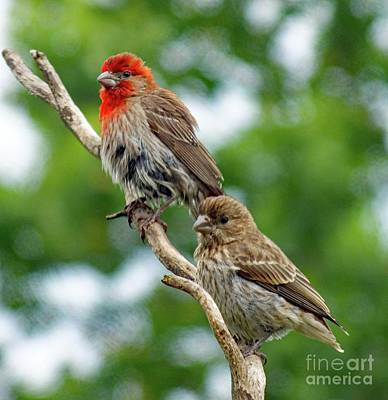 Orange And Brown Wings Photograph - Caught In A Trance - House Finches by Cindy Treger