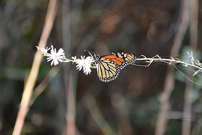 Photograph - Caught It - Monarch Butterfly by rd Erickson