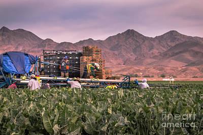 Cauliflower Wall Art - Photograph - Cauliflower Harvest by Robert Bales