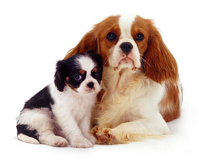 Photograph - Cavalier King Charles Mother And Pup by Warren Photographic