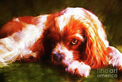 Photograph - Cavalier King Charles Spaniel 20118 by Ray Shrewsberry