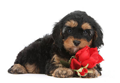 Photograph - Cavapoo With Red Rose by Warren Photographic