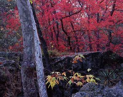 Photograph - Cave Creek Maples by Tom Daniel