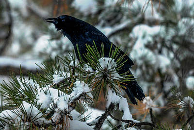 Photograph - Cawing Crow by Marilyn Burton