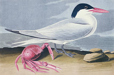 Sea Birds Painting - Cayenne Tern by John James Audubon