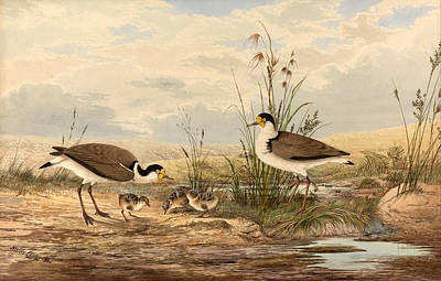 Lapwing Drawing - Cayley Masked Lapwing. Vanellus Miles by Neville Henry Penniston