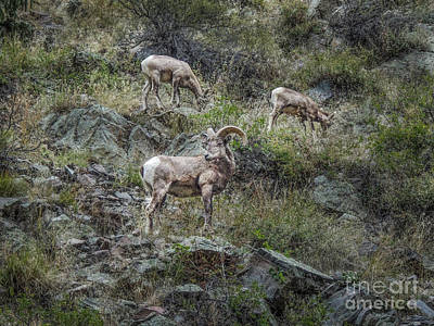 Photograph - Big Thompson Bighorn by Lynn Sprowl