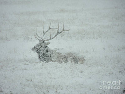 Photograph - Elk In A Snowstorm by Lynn Sprowl