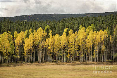 Photograph - Aspen Grove by Lynn Sprowl