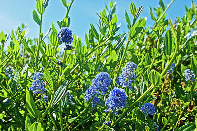 Photograph - Ceanothus Or Ca Lilac On Muir Beach In Muir Woods National Monument, California   by Ruth Hager