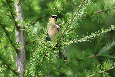 Photograph - Cear Waxwing In Tamarack by Brook Burling