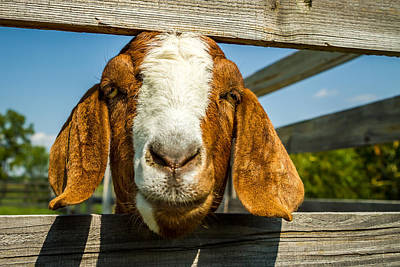 Photograph - Cedar Creek Goat by Ron Pate