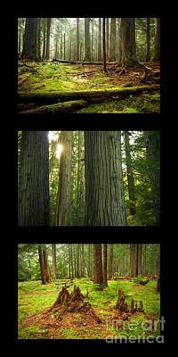 Photograph - Cedar Forest Trio by Idaho Scenic Images Linda Lantzy
