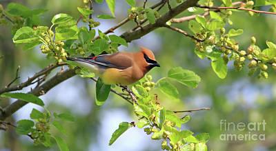 Photograph - Cedar In Spring by Debbie Parker