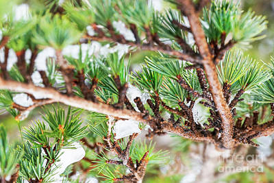 Photograph - Cedar Tree Background by Anna Om