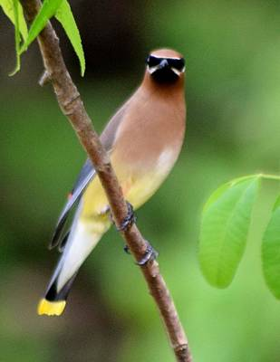 Photograph - Cedar Wax Wing 2 by Sheri McLeroy