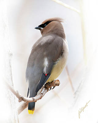 Photograph - Cedar Wax Wing by Jim Fillpot