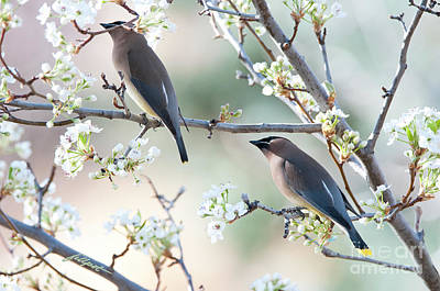 Photograph - Cedar Wax Wing Pair by Jim Fillpot
