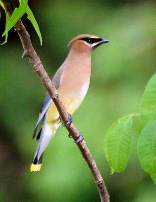 Photograph - Cedar Wax Wing Profile by Sheri McLeroy