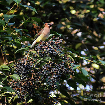 Cedar Waxing Photograph - Cedar Wax Wing by Skip Willits