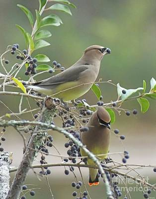 Photograph - Cedar Wax Wings by Lizi Beard-Ward