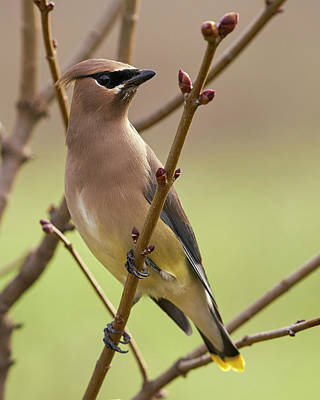 Photograph - Cedar Waxwing by Doug Herr