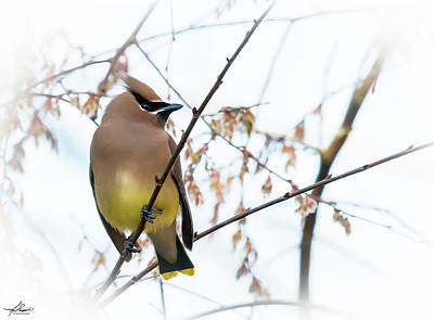 Photograph - Cedar Waxwing 01 by Phil Rispin