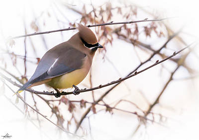 Photograph - Cedar Waxwing 02 by Phil Rispin