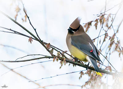 Photograph - Cedar Waxwing 03 by Phil Rispin