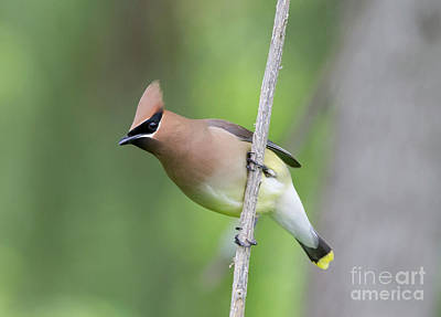 Photograph - Cedar Waxwing 1 by Chris Scroggins