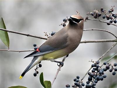 Photograph - Cedar Waxwing 1 by Kathy Long