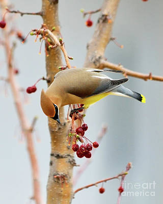 Cedar Waxwing Photograph - Cedar Waxwing 2 by Betty LaRue