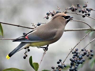 Photograph - Cedar Waxwing 2 by Kathy Long