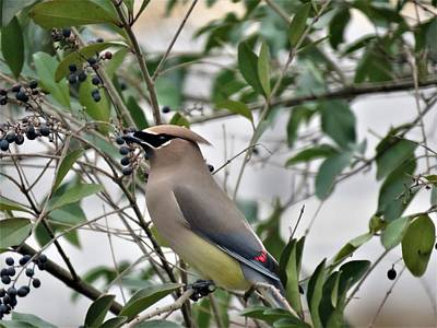 Photograph - Cedar Waxwing 3 by Kathy Long