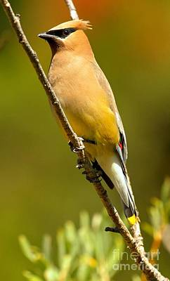 Cedar Waxing Photograph - Cedar Waxwing by Adam Jewell