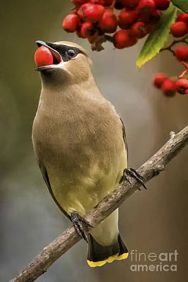 Photograph - Cedar Waxwing by Alice Cahill