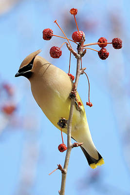 Photograph - Cedar Waxwing And Berries by Doris Potter
