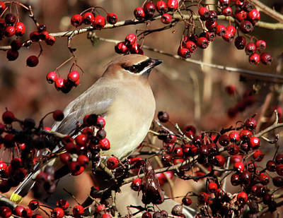 Photograph - Cedar Waxwing And Berries by Inge Riis McDonald