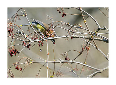 Photograph - Cedar Waxwing And Highbush Cranberries by Edward Peterson